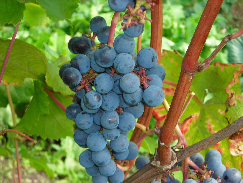 Виноград амурский прорыв фото