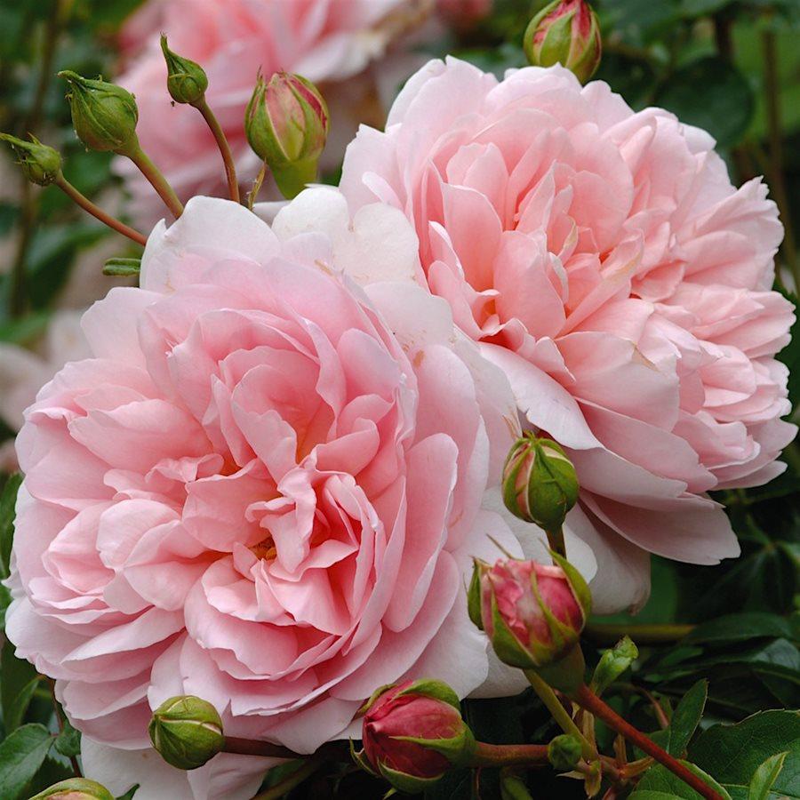 Английские розы картинка