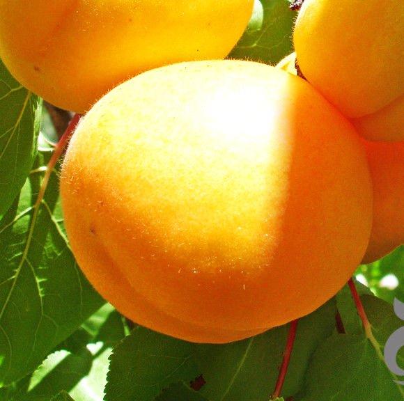 станет фото золотого абрикоса повседневной
