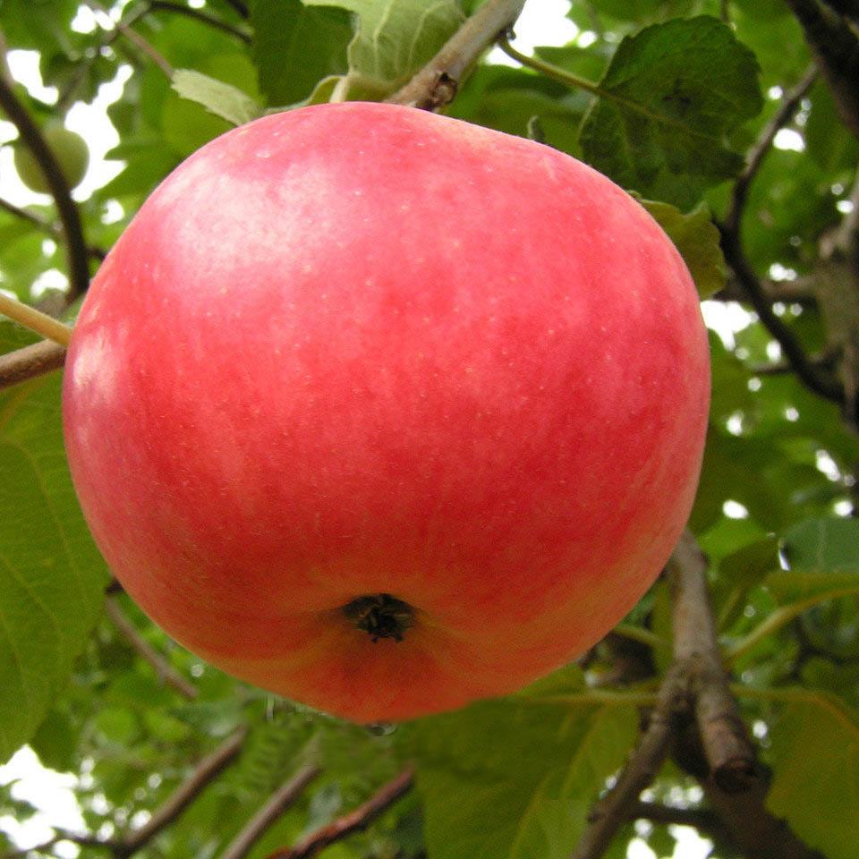 фото сорта яблок суйслепское дню учителя