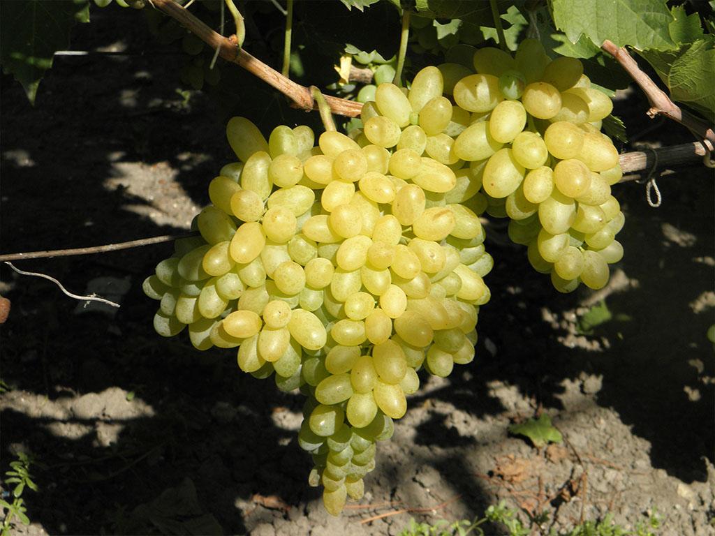 Голубцы в виноградных листьях рецепт с фото частных фотографий