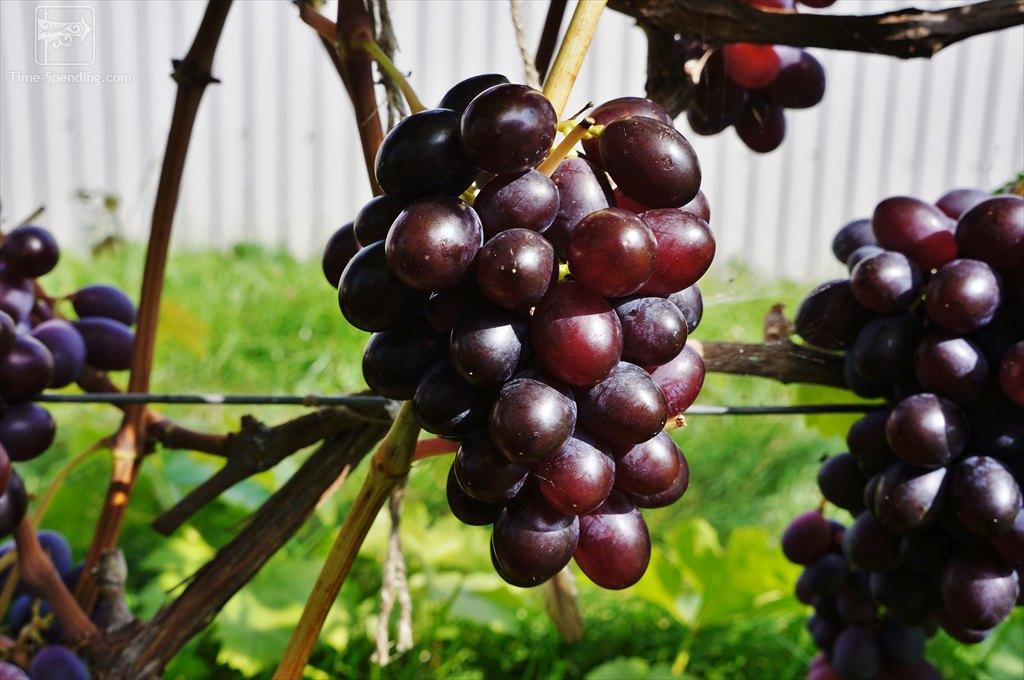 половину виноград престиж описание сорта фото черта