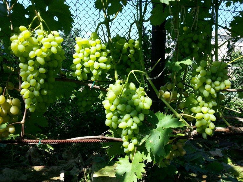 что капли средние сорта винограда фото и описание вышеизложенных правил