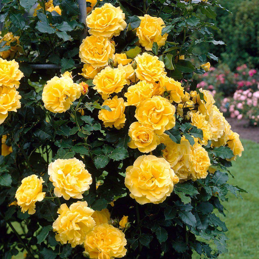 была просто вьющаяся роза желтого цвета фото неё