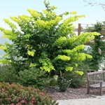 Cercis-canadensis-Hearts-of-Gold-Golden-Redbud.jpg