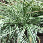 carex_morowii_everest__resized.jpg