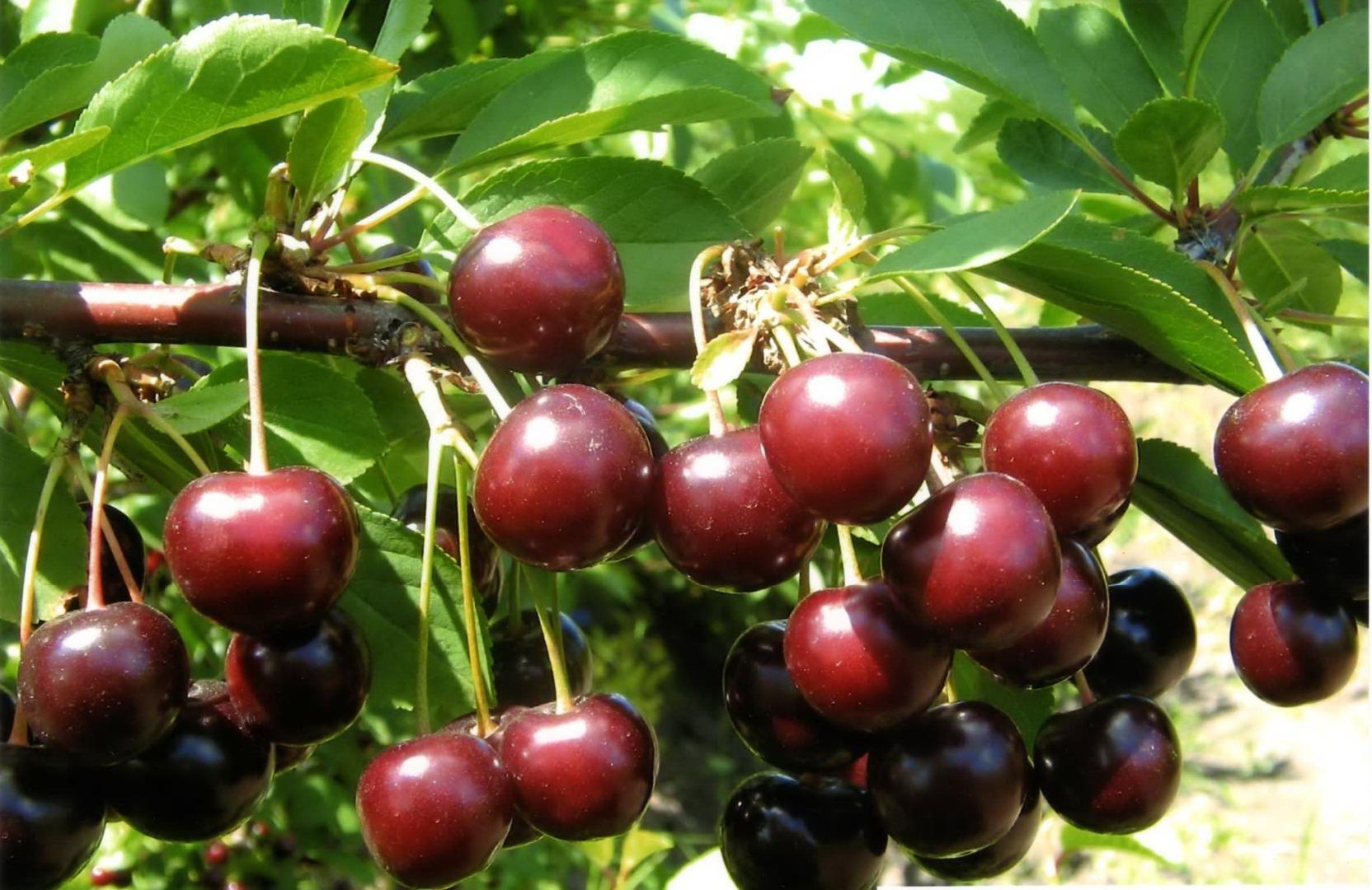 Сорт вишни Тамарис