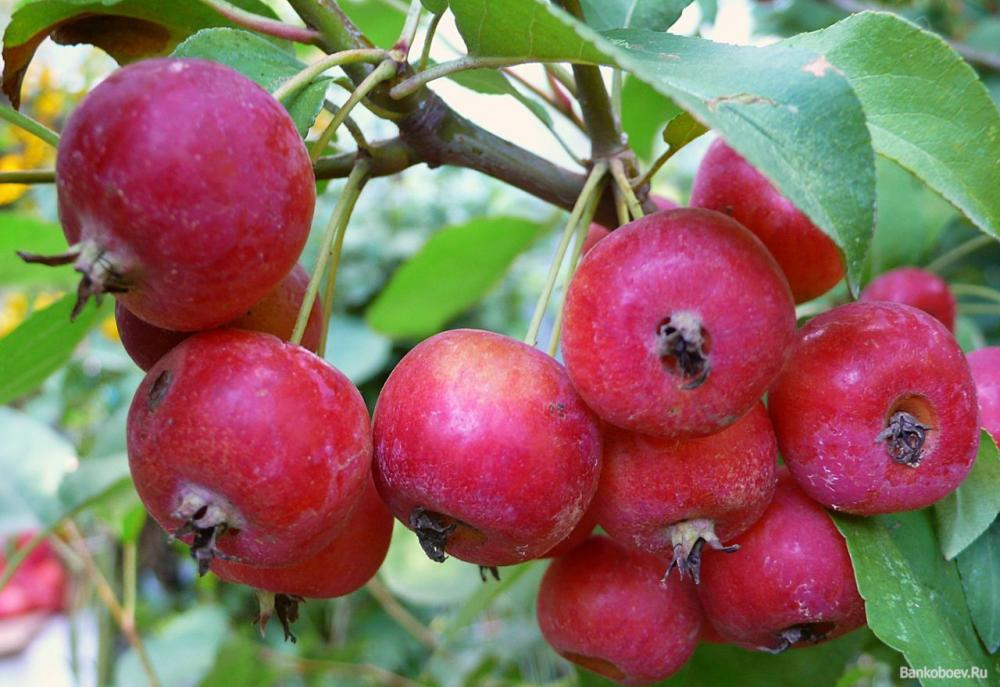 Яблоня Райское средний сорт Китайка Розовая
