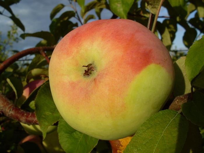 яблоня мартовское фото описание уже