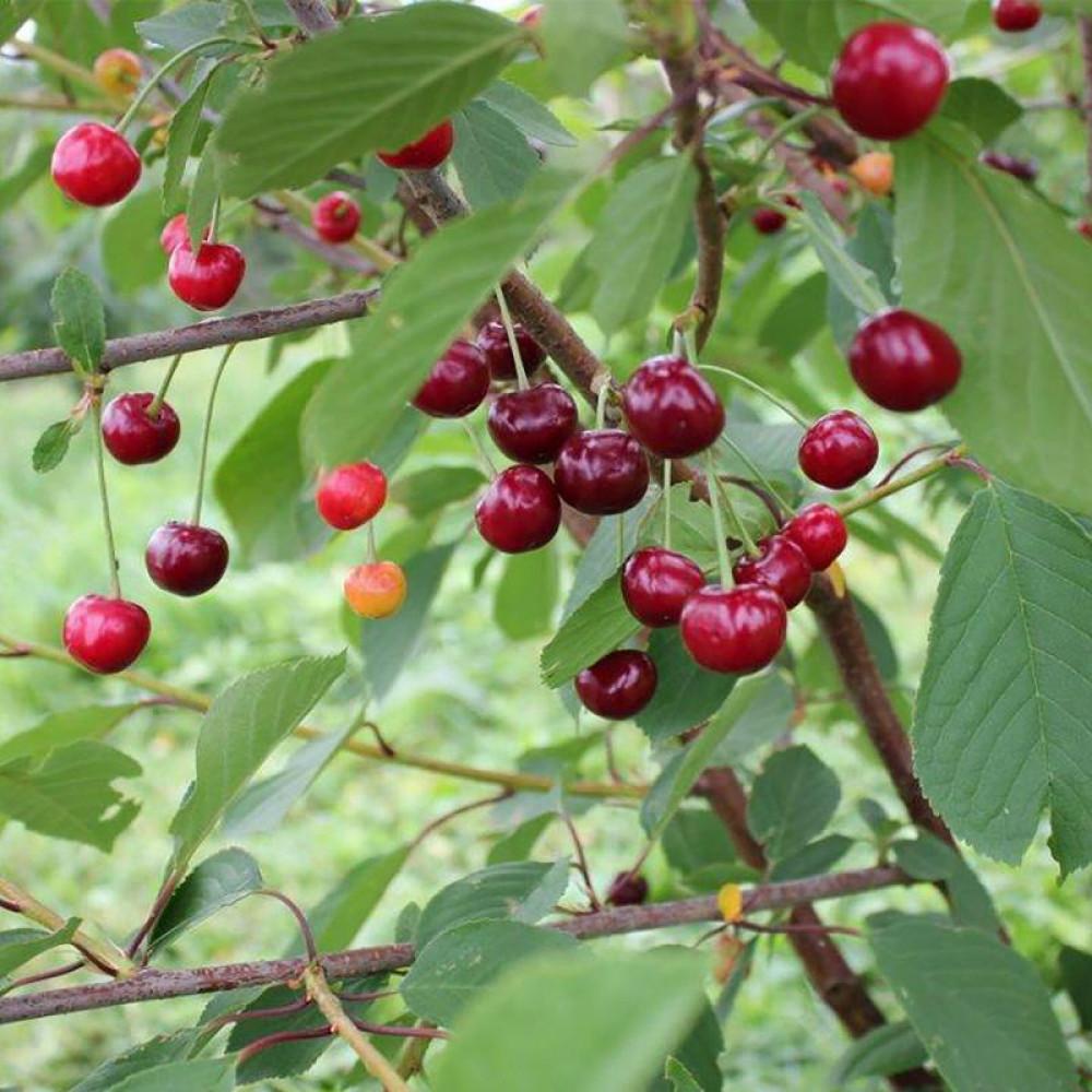 Сорт вишни Игрицкая