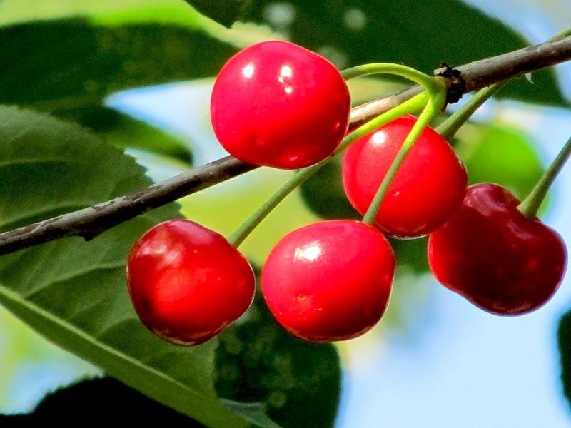 Сорт вишни Обильная