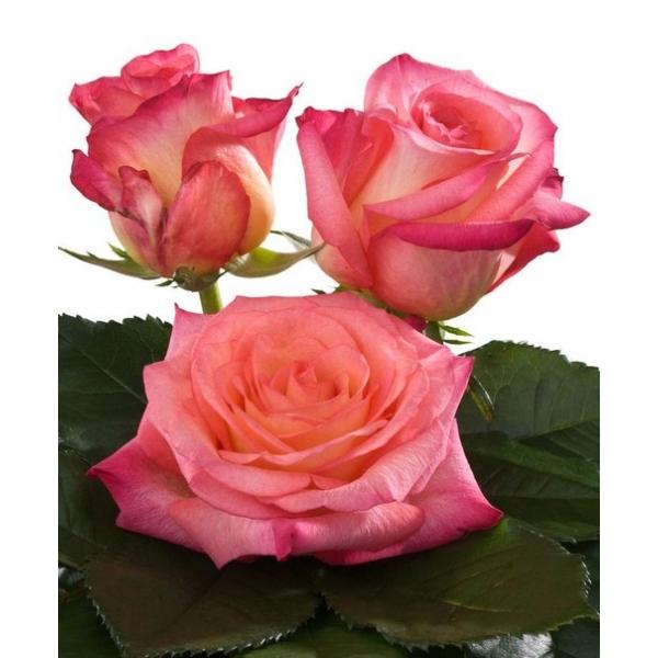 роза данте фото момент рождения симбы